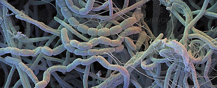 streptomyces
